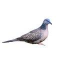 Bodkovaný holubica alebo