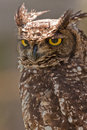 Spotted-eagle owl Stock Image