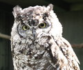 Spotted Eagle owl Bubo africanus Stock Images