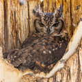 Spotted eagle owl complete name aves strigiformes strigidae bubo africanus Royalty Free Stock Image