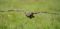 Spotted eagle owl in flight an Stock Photos