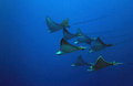 Spotted eagle rays seven aetobatus narinari in the blue cozumel mexico Royalty Free Stock Image