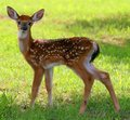 Spotted Fawn Stock Photo
