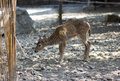 Spotted fawn looking for food on ground Royalty Free Stock Photo