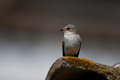 Spotted flycatcher balearic subspecies sitting on rooftop Royalty Free Stock Photo