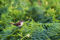 Spotted flycatcher on ferns top of green Royalty Free Stock Photography