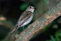 Spotted flycatcher muscicapa striata on a branch Stock Photos