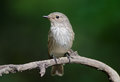 Spotted flycatcher the muscicapa striata is a small passerine bird in the old world family Stock Photos
