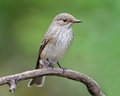 Spotted flycatcher the muscicapa striata is a small passerine bird in the old world family Royalty Free Stock Photography