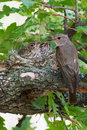 Spotted flycatcher at nest with chicks a muscicapa striata two Royalty Free Stock Images