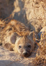 Spotted hyaena (Crocuta crocuta) Royalty Free Stock Photography