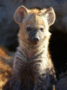 Spotted hyaena (Crocuta crocuta) Royalty Free Stock Photo