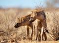 Spotted hyaena (Crocuta crocuta) Royalty Free Stock Photo