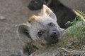 Spotted hyaena crocuta crocuta in kruger national park south africa Stock Photography