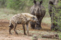 Spotted hyaena and white rhinoceros in Kruger National park, Sou Royalty Free Stock Photo