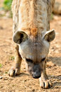 The spotted hyena Stock Image