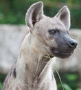 Spotted hyena close up a Royalty Free Stock Images