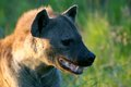 Spotted hyena crocuta crocuta also known as the laughing in kruger national park south africa Stock Photos