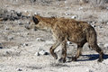Spotted hyena crocuta crocuta at etosha national park namibia Stock Image