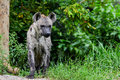 Spotted hyena crocuta crocuta in forest Royalty Free Stock Image