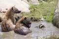 Spotted hyena crocuta crocuta hyenas are taking a bath in the river Stock Image