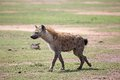 Spotted hyena crocuta crocuta is walking in the african savanna Stock Photos