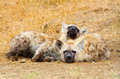 Spotted hyena cubs kruger national park south africa resting Royalty Free Stock Photo