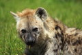 Spotted hyena the detail of Stock Images