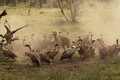 Spotted Hyena guards a kill whilst encircled by vultures in Ndutu Royalty Free Stock Photo
