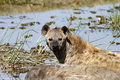 Spotted hyena the is a highly successful animal being the most common large carnivore in africa Stock Image