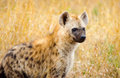 Spotted hyena kruger national park south africa in a savannah Royalty Free Stock Photo