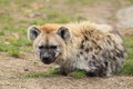 Spotted hyena the lying on the grass Royalty Free Stock Image