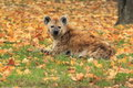 Spotted hyena the lying in the grass covered by fallen leaves Stock Image
