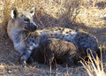 Spotted Hyena Nursing Royalty Free Stock Image