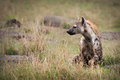 Spotted hyena on the plains of the masai mara Royalty Free Stock Photography