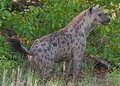 Spotted Hyena on the prowl Royalty Free Stock Photography