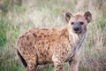 Spotted Hyena in Serengeti National park Royalty Free Stock Photo