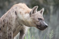 Spotted hyena in the wild Royalty Free Stock Image