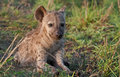 Spotted hyena youngster basking in the sun Stock Images
