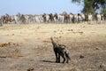 Spotted hyena with zebra