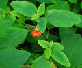 Spotted Jewelweed Royalty Free Stock Photo