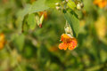 Spotted Jewelweed Flower Impatiens Capensis Royalty Free Stock Photo