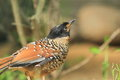 Spotted laughingthrush the detail of Royalty Free Stock Images