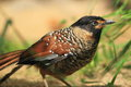 Spotted laughingthrush the on the soil Royalty Free Stock Images