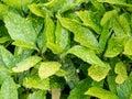 Spotted Laurel Plant Leaves Aucuba Japonica leaves ** Note- Sh