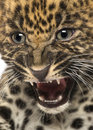 Spotted leopard cub panthera pardus weeks old Royalty Free Stock Images