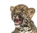 Spotted leopard cub roaring panthera pardus weeks old isolated on white Royalty Free Stock Photography