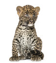 Spotted leopard cub sitting panthera pardus weeks old isolated on white Royalty Free Stock Image