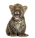 Spotted leopard cub sitting and roaring panthera pardus weeks old isolated on white Stock Photos