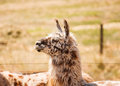 Spotted Llama Royalty Free Stock Photography